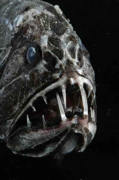 pez ogro (Anoplogaster cornuta)