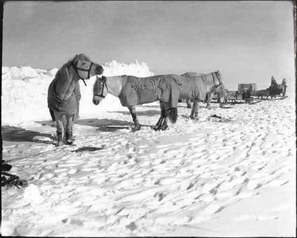 grupo de poneys de la expedición de Scott al Polo Sur