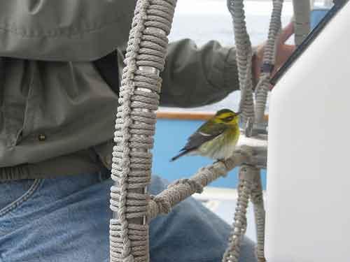 reinita de Townsend posado en un barco