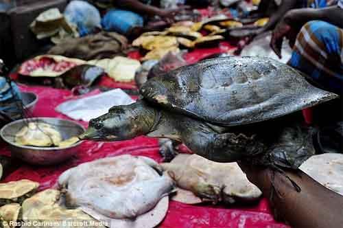 última tortuga viva en la fiesta de Bangladesh
