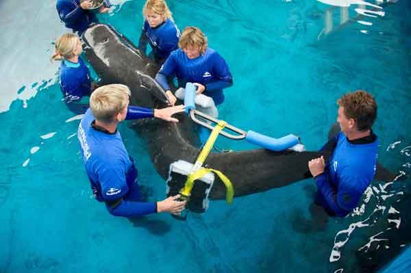 ballena piloto '300' le colocan un corsé en SeaWorld