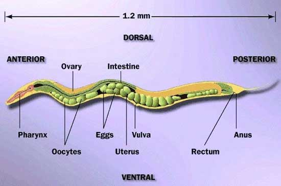 anatomía del Caenorhabditis elegans