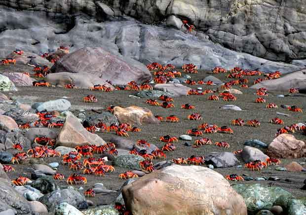 migración cangrejos rojos (Gecarcinus quadratus)