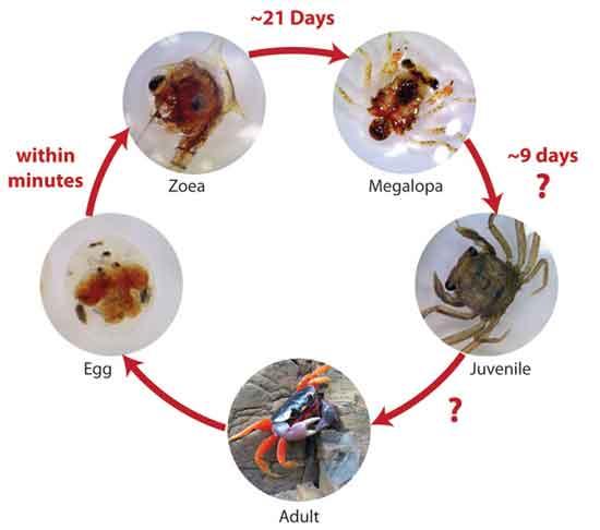 ciclo de vida de cangrejo Gecarcinus quadratus