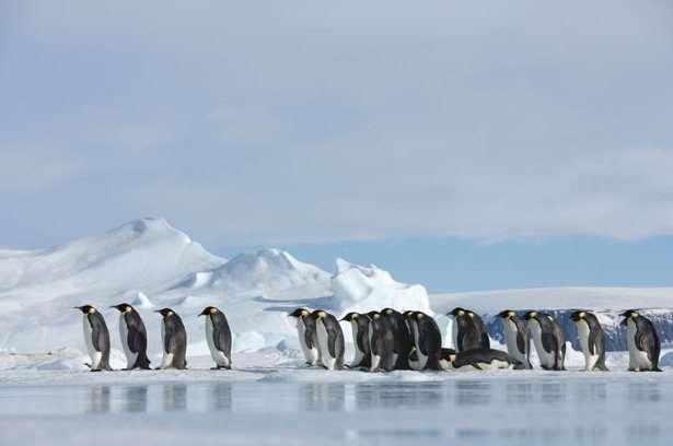 colonia de pingüinos emperador en la Antártida