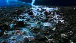 estrellas de mar congeladas por un brinicle