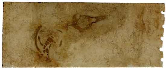 fósil de Aegyptocetus tarfa