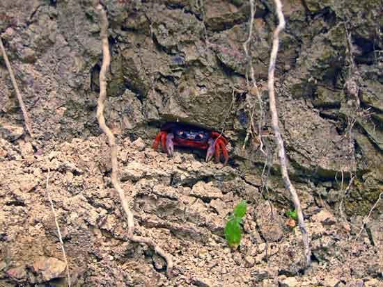 cangrejo rojo (Gecarcinus quadratus), adulto
