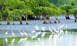 los manglares, hábitats de muchas aves