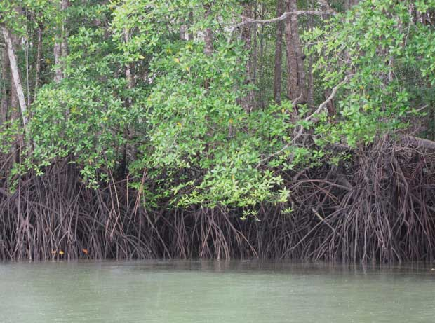 manglares en Panamá
