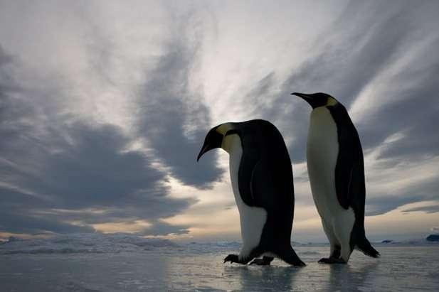 pareja de pingüinos emperador en la Antártida