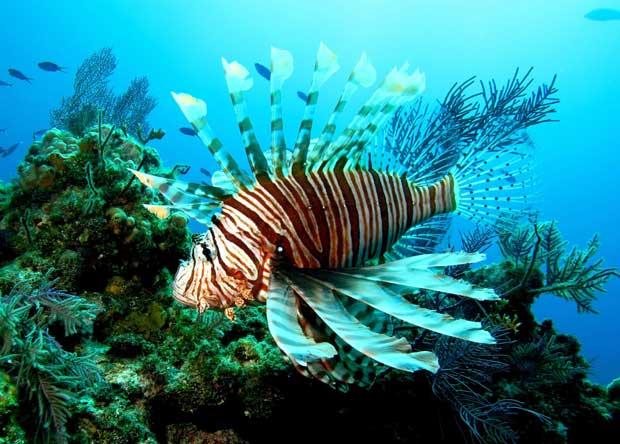 pez león, lionfish