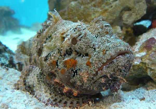 pez piedra (Synanceia horrida)