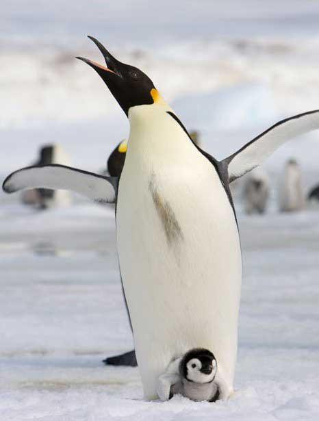 pingüino emperador en la Antártida y su cría