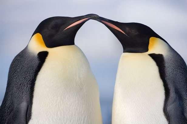 cortejo de pinguinos emperador en la Antártida