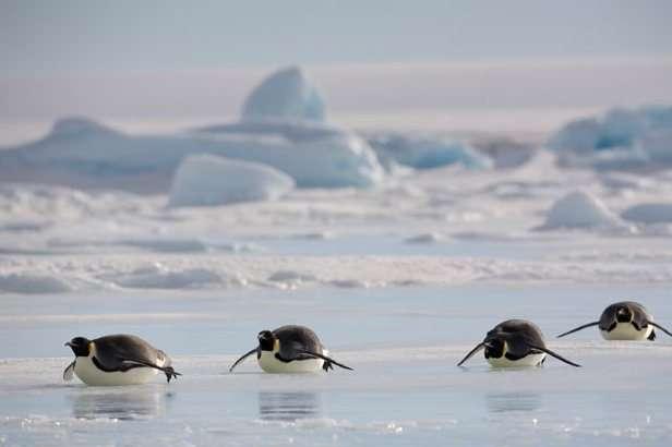 pingüinos emperador en la Antártida se deslizan en el hielo