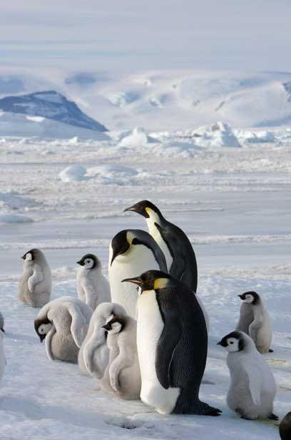 pingüinos emperador en la Antártida cuidan sus polluelos
