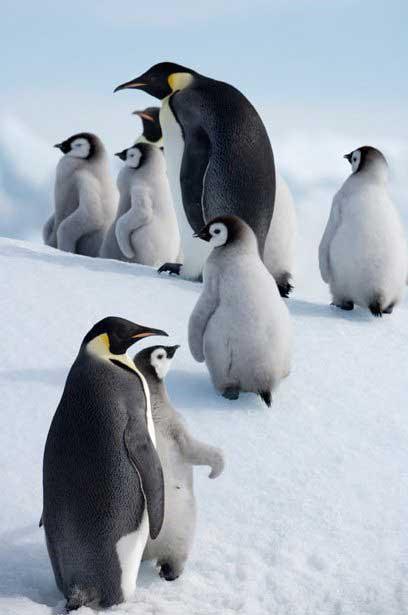 polluelos de pinguino emperador y sus papás en la Antártida