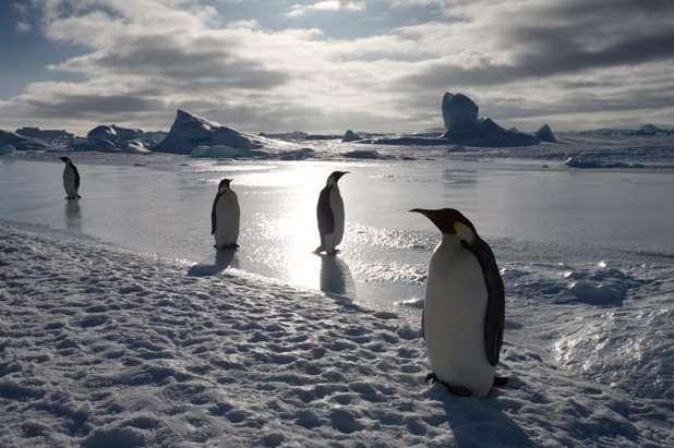 pingüinos emperador en el hielo dela Antártida