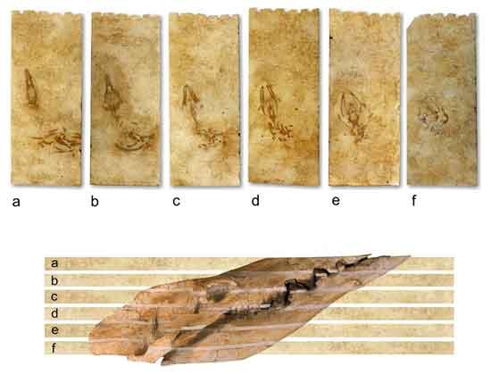placas de piedra con el cráneo de Aegyptocetus tarfa