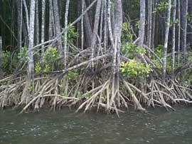 raices de manglar