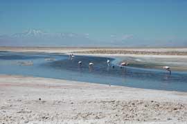 Salar de Atacama, flamencos