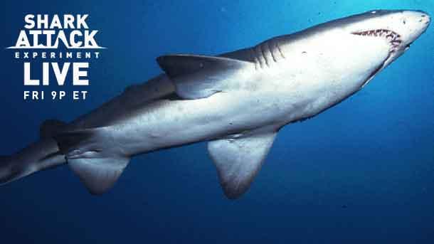 shark attack experiment live