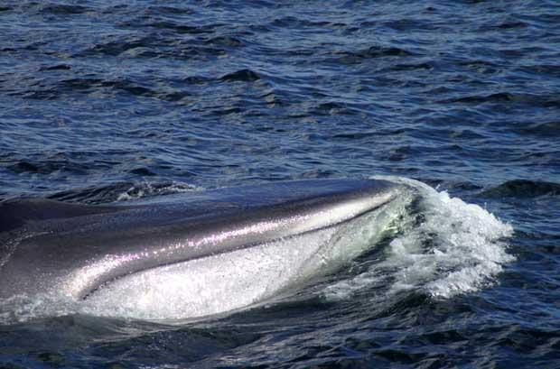 ballena de aleta (Balaenoptera physalus)