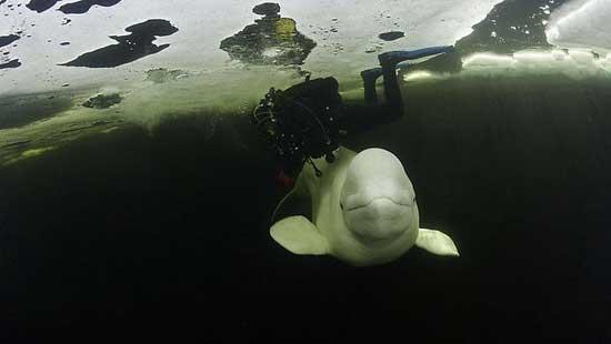ballena beluga bajo el hielo