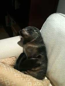 bebé foca en el sofá