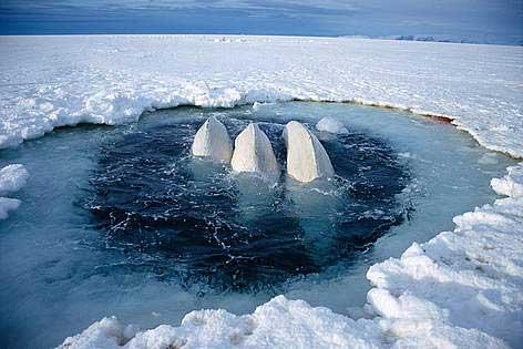 belugas atrapadas entre el hielo