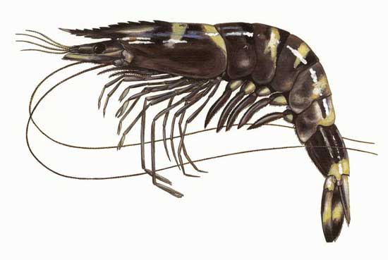 camarón tigre negro (Penaeus monodon)