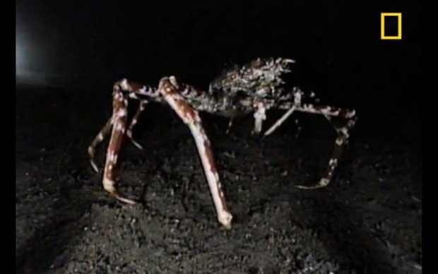cangrejo araña gigante japonés