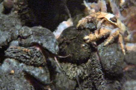cangrejo yeti del Índico encima de un caracol pie de escamas