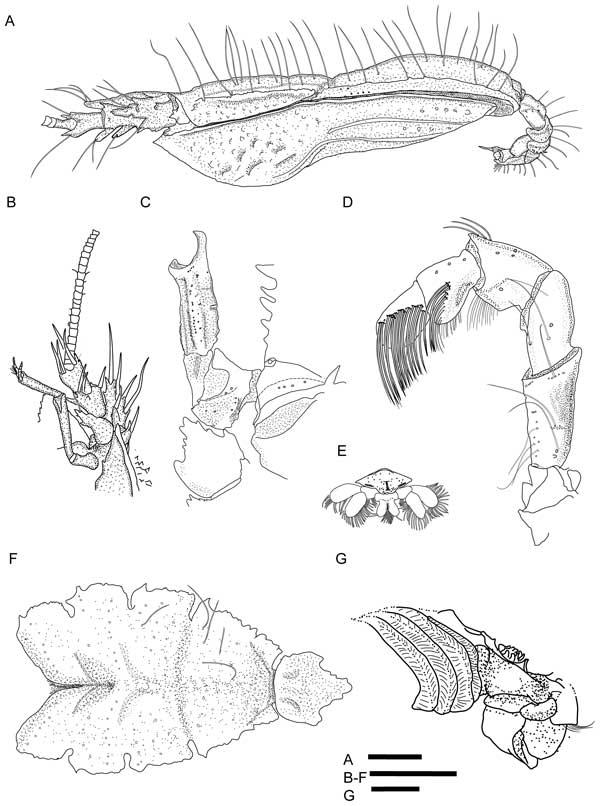 cangrejo yeti Kiwa puravida, anatomía