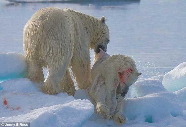 canibalismo de un oso polar