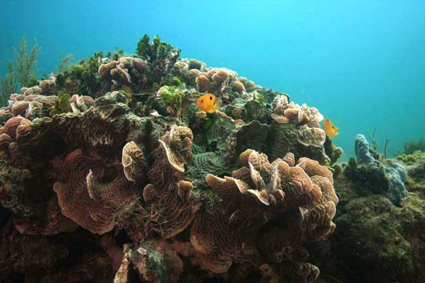 """coral en un """"ojo"""" o fuente ácida del Caribe"""
