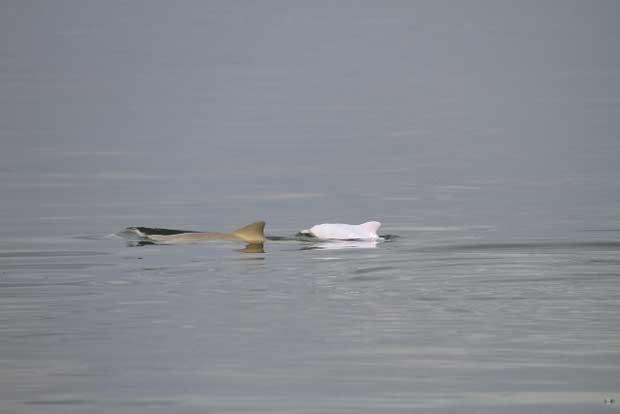 delfín albino (Pontoporia blainvillei)