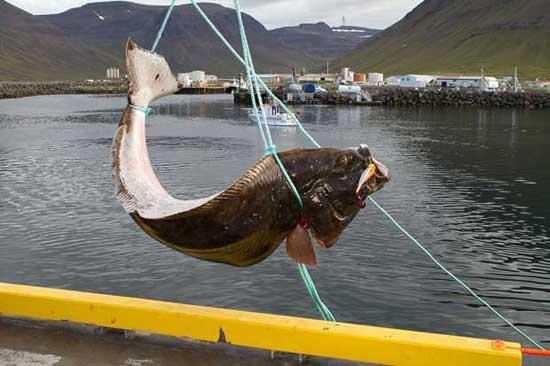 fletán gigante capturado en Islandia