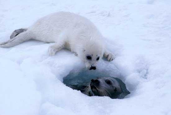 foca arpa y cría
