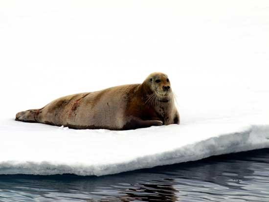 foca descansa en el hielo