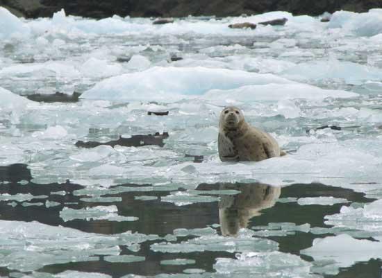 foca entre hielo derretido