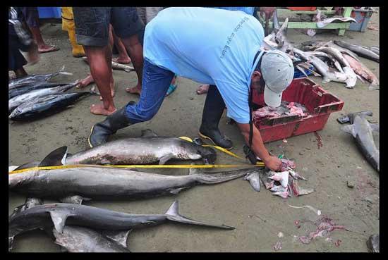 medida de tiburón en el mercado de Puerto López, Ecuador