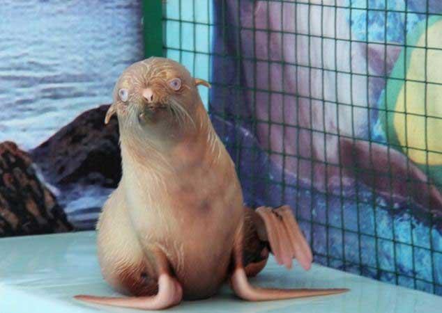 Nafanya, la foca albina en el delfinario