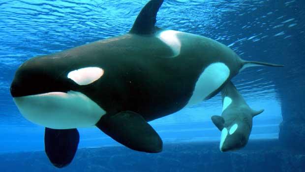 orcas, proyecto canto de las ballenas