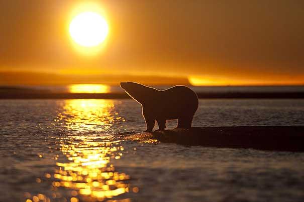 oso polar (Ursus maritimus) en Alaska
