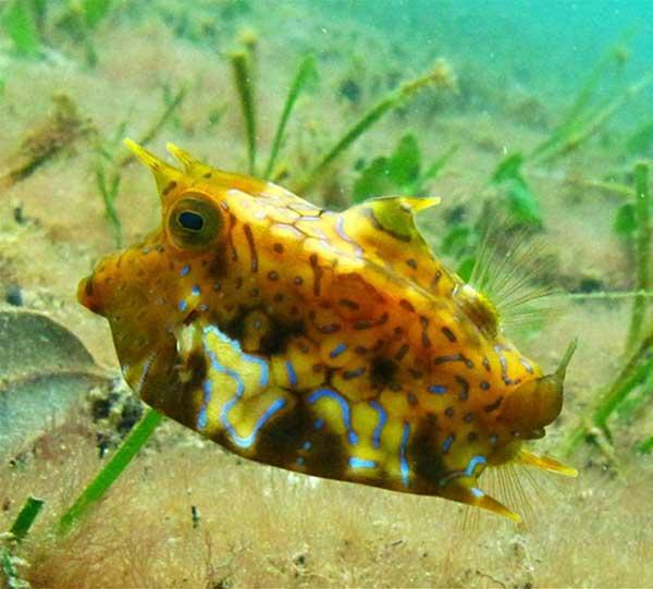 pez cofre cubo (Lactoria fornasini)