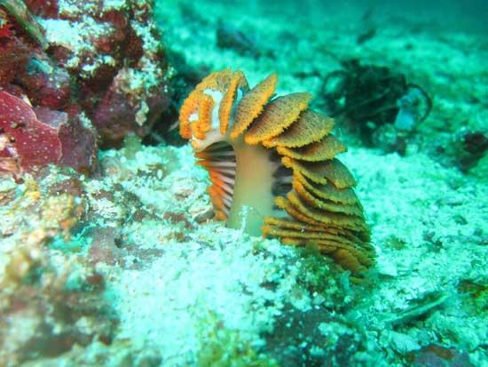 pluma de mar Pteroeides en el agua