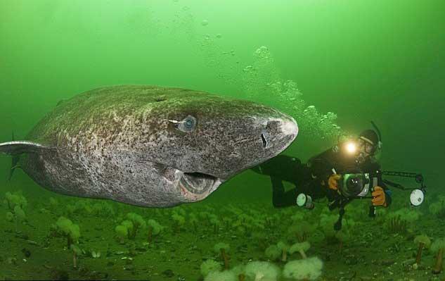 tiburón de Groenladia y buzo