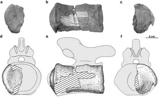 vertebras de Lithostrotian titanosaur